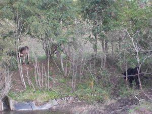 観光牧場の牛